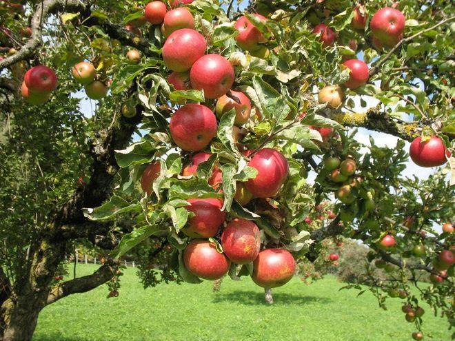 Яблоня для Ленинградской области