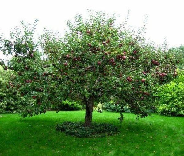 Крона яблони
