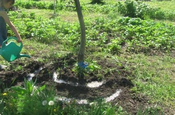 Посадка растений под яблоней