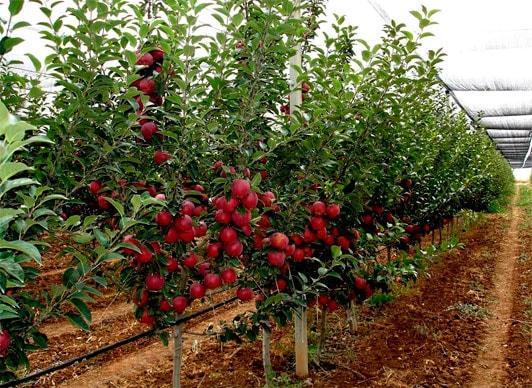 Интенсивный сад из яблонь