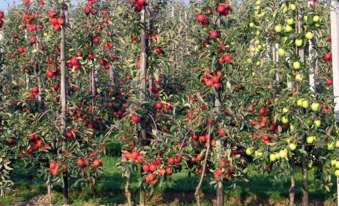 Колоновидные сорта яблок