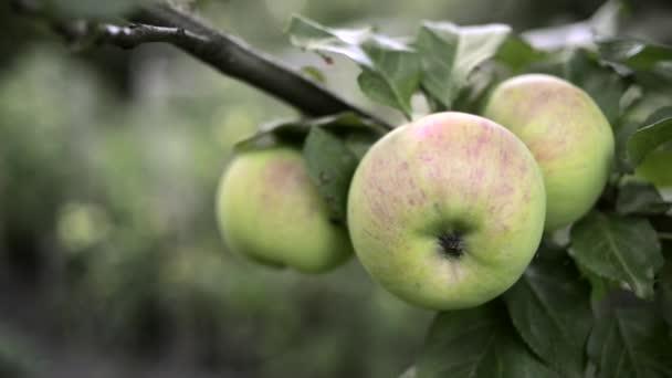Созревание яблок