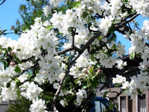 Цветение Антоновки