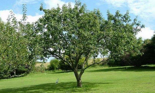 Дерево Антоновки