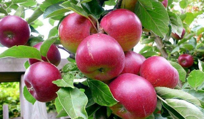 Ранняя яблоня