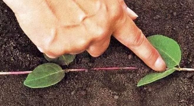 Выращивание яблони из черенка