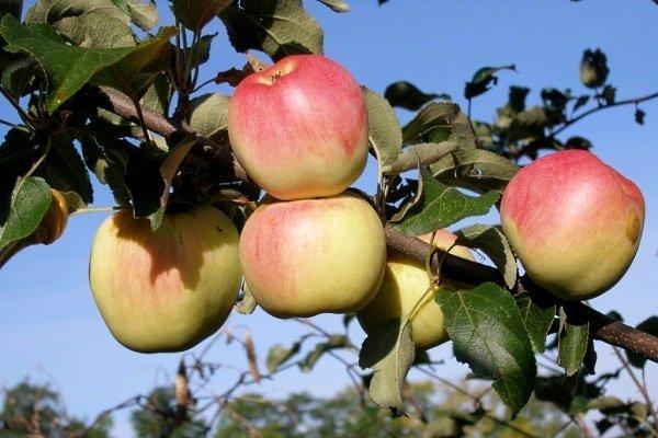 Созревание яблока