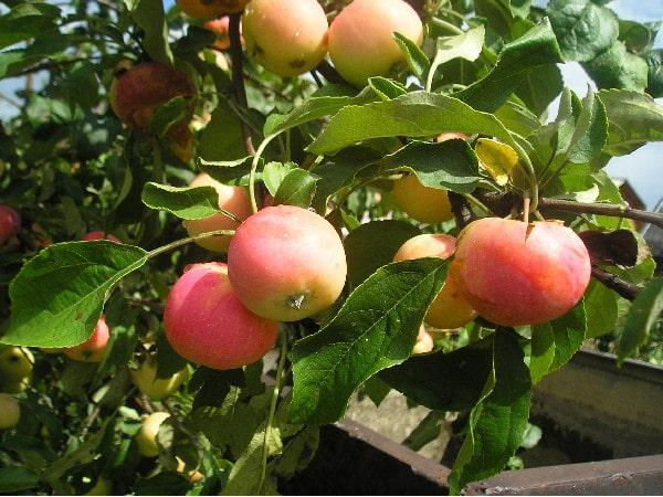 Яблоня полукультурник