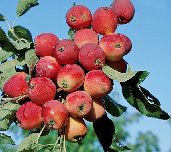 Яблоня для Сибири