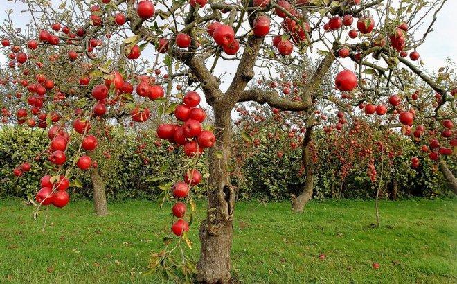 Яблоня для средней полосы