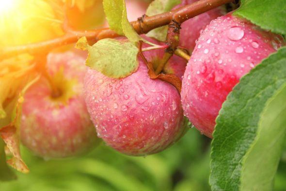 Имунная яблоня