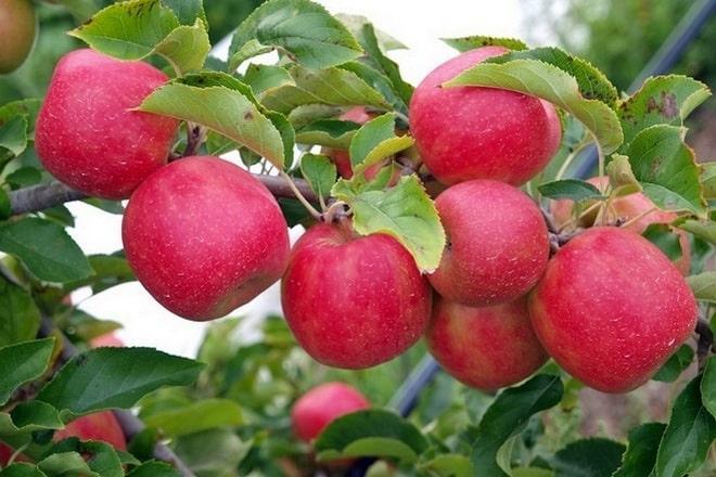Устойчивая яблоня