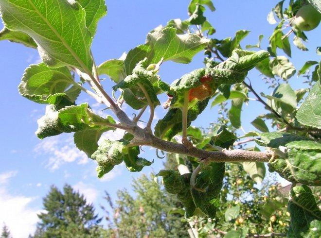 Скрученные яблоневые листья