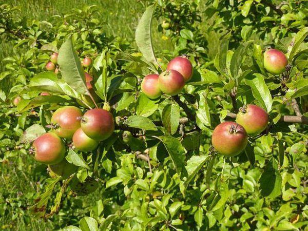 Яблоки у дички