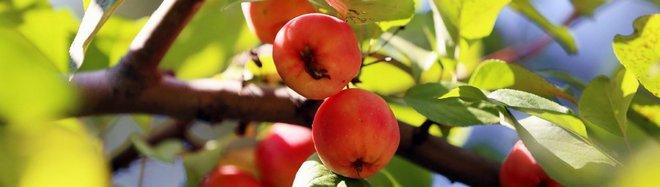 Плоды яблони Дички