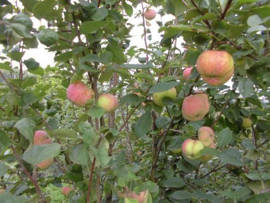 Дерево яблони Превосходное