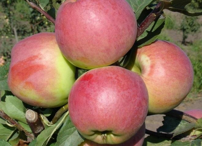 Плоды яблони сорта Превосходное
