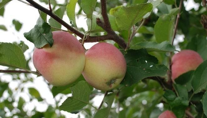 Яблоня Превосходное