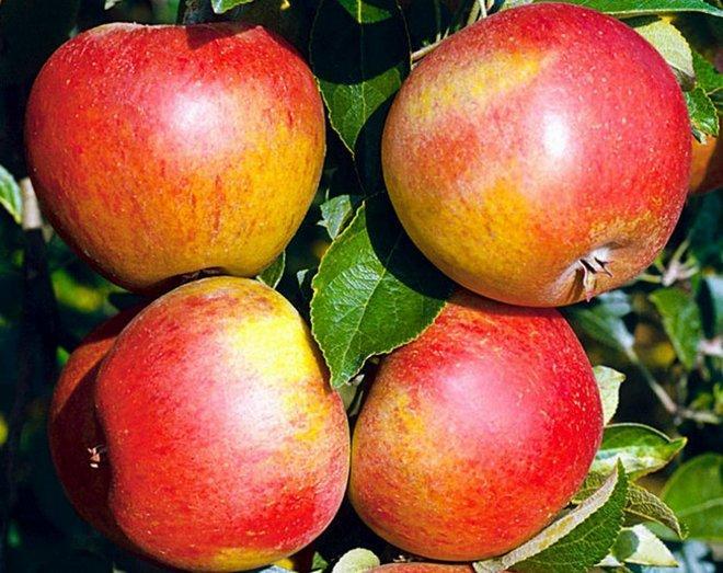 Яблоки Сладкая Нега