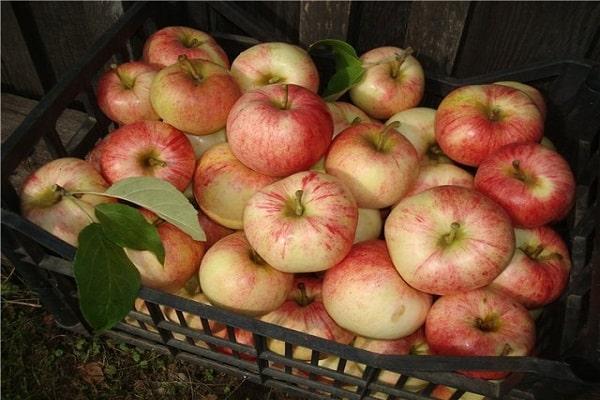 Плоды яблони Сладкая Нега