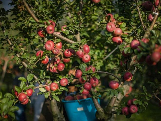 Яблоня с большим количеством плодов