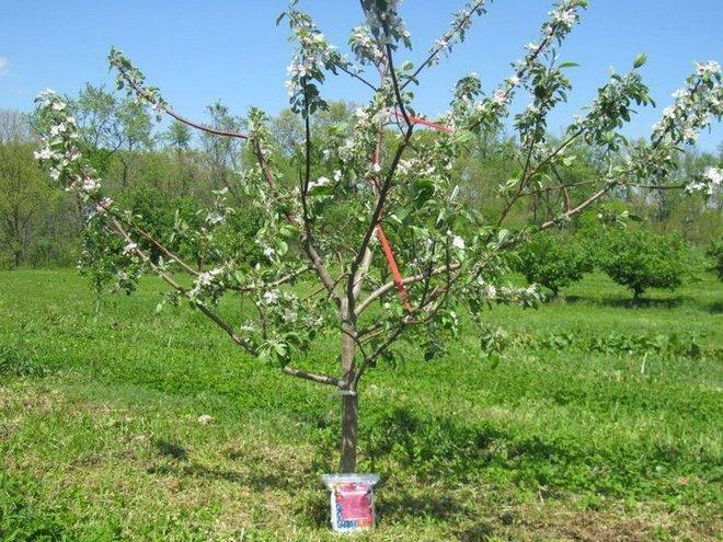 Яблоня, которая не плодоностит