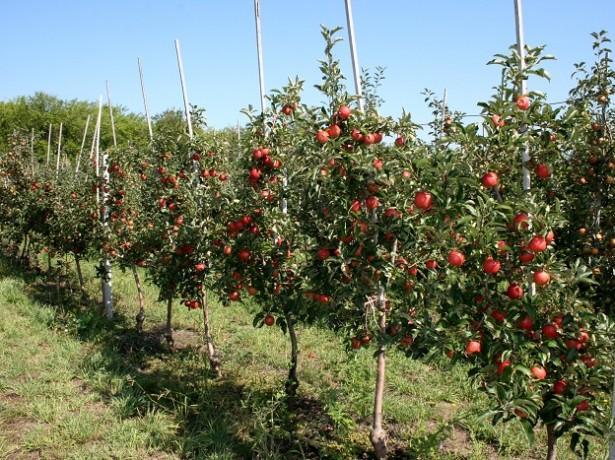 Колоновидная яблоня Жигулевское