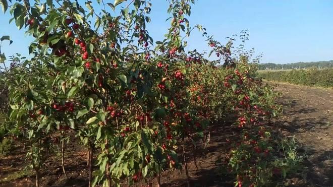 Дерево сорта яблони Золотой Ранет