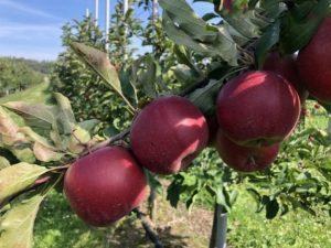 Плоды яблони Красавица Москвы