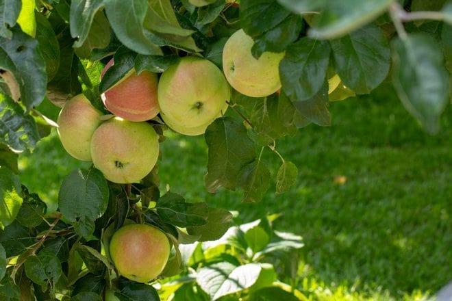 Яблоня Подснежник