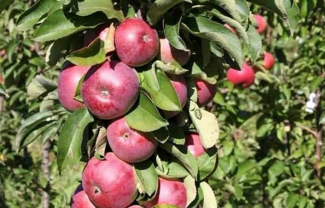 Дерево сорта яблок Конференция
