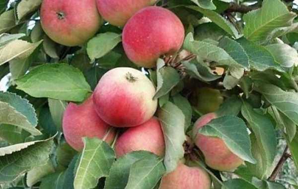 Яблоня Триумф