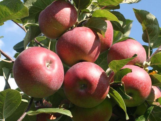 Урожай яблок Лобо