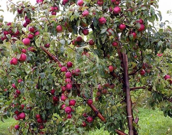 Дерево сорта яблони Лобо