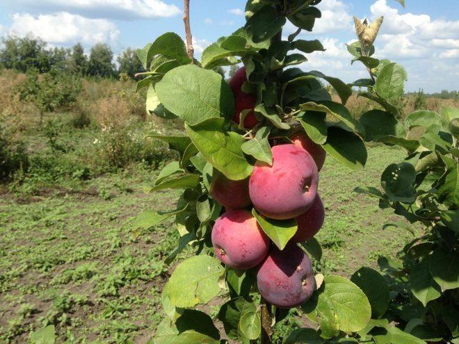 Колоновидная яблоня Лобо