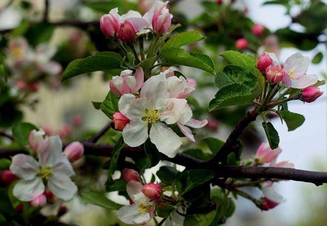 Яблоня Мантет в цвету