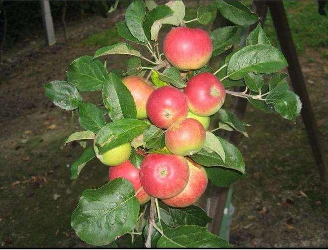 Яблоня Мантет колоновидная