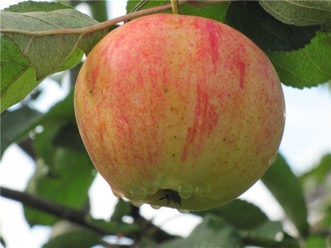 Сорт яблок Орлинка
