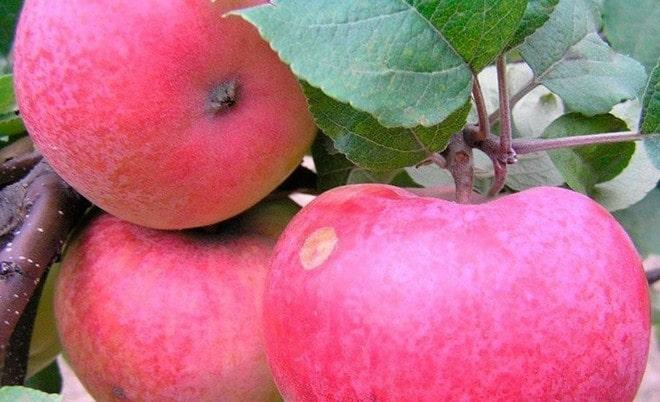 Сорт яблок Память Тихомирова