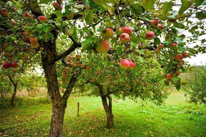 Дерево сорта Первоуральская
