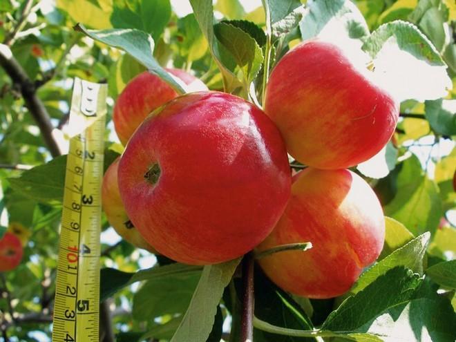 Яблоки Пероуральская