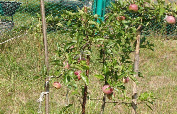 Первое плодоношение у яблони