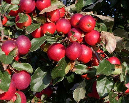 Яблоня Пионерка осенью