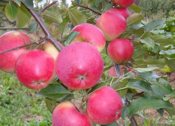 Яблоки Сябрына