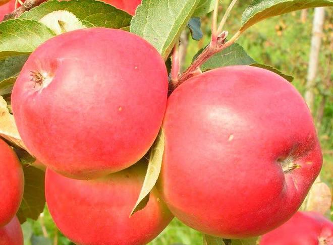Плоды яблони Сябрына