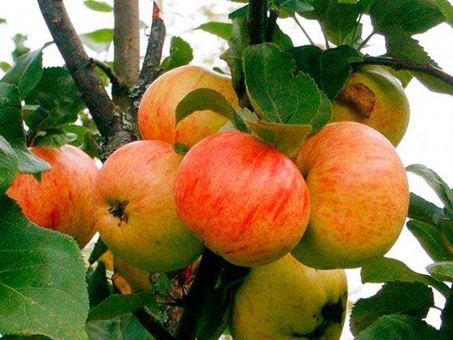 Яблоня Сахарный Мирон