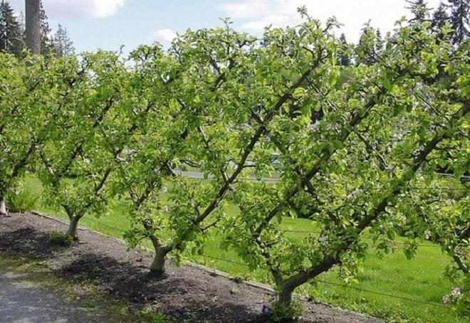 Яблони на шпалере
