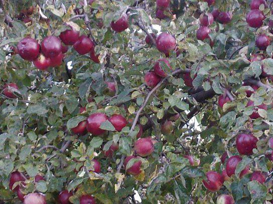 Дерево яблони Белорусское Малиновое