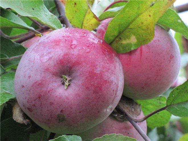 Плоды яблони Белорусское Малиновое