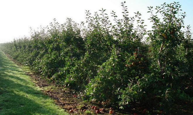 Яблоня Белорусское Малиновая полукарликовая